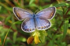Diget - juli- blålig hun på Alm. torskemund