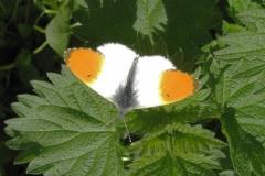 Plantagen - maj - han (kendes på den orange forvinge) på mælkebøtte