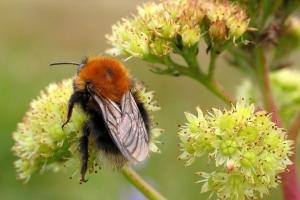 Bier, Hvepse og Myrer (Årevingede)