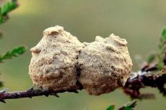 Pottemagerhveps (Eumenes pedunculatus) - Dobbeltkrukke til æg - Set på diget i april på Lyng