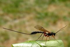 Stor sabelhveps (Rhyssa persuasoria) - Set ved sommerhus i maj