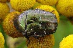 Kobberguldbasse (Protaetia cuprea) - Set på diget i august på Rejnfan