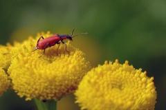 Rød malakitbille (Malachius aeneus) - Set på diget i august på Rejnfan