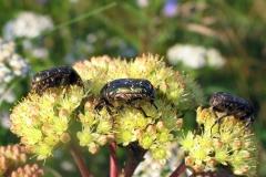 Kobberguldbasse (Protaetia cuprea) - Set på diget i august på Alm. sankthansurt