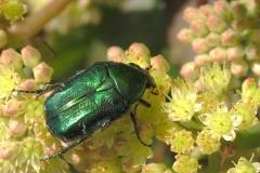 Grøn guldbasse (Cetonia aurata) - Set på diget i september på Alm. sankthansurt