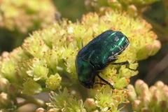 Grøn guldbasse (Cetonia aurata) - Set på diget i september på Alm. sankthansur