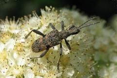 Blankplettet tandbuk (Rhagium mordax) - Set på diget i maj på Hvidtjørnid