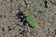Grøn sandspringer (Cicindela campetris) - Set i plantagen i april