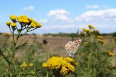 Blomsten Rejnfan på diget tiltrækker mange forskellige sommerfugle - her Almindelig Blåfugl (hun)