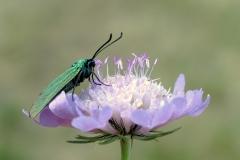 Blomsten Blåhat på diget tiltrækker mange forskellige sommerfugle - her Grøn køllesværmer
