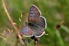 Sort Ildfugl -Sjælden for landet - Lever kun ved Bøtø og omegn