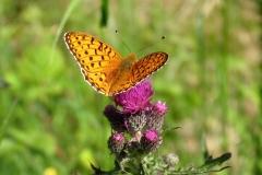 Tidsel i Bøtøskoven tiltrækker mange forskellige sommerfugle - her Markperlemorsommerfugl