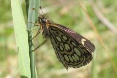 Spejlbredpande er en sjælden og ny sommerfugl i Bøtøskoven - set i juli