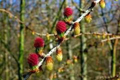Lærk i blomst i Bøtøskoven i april