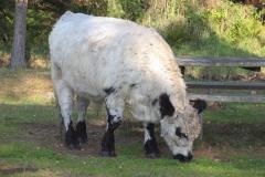 Skotsk Galloway  kvæg  - ældste kendte race uden horn - her en hvid stud  ved en af skovens rastepladser