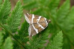 Tvebånd-dagugle (Deltote bankiana) - Diget i juni på Bregne - Flyver nat og delvis dag fra maj-august
