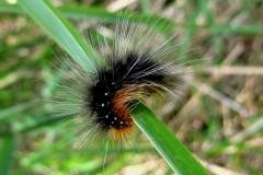 Brun bjørnespinder (Arctia caja) - Larve plantagen juni