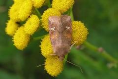 Øje-græsugle (Amphipoea oculea) - Diget i august  på Rejnfan - Flyver juli-oktober på udyrkede græsområder