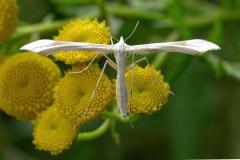 Hvidt fjermøl (Pterophorus pentadactyla) - Diget august på Rejnfan - Flyver både dag og nat fra juni-august