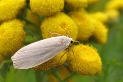 Askegrå lavspinder (Eilema griseola) - Diget august på Rejnfan - Flyver om dagen fra juli-august