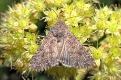 Bedeugle (Anarta trifolii) -  Diget i august på Alm. sankthansurt - Flyver nat maj-oktober i to generationer