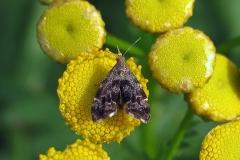 Bredvinget nældevikler (Anthophila fabriciana) - Diget september på Rejnfan - Flyver om dagne fra maj-okt