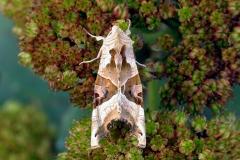Agatugle (Phlogophora meticulosa)  - Diget september på Alm. sankthansurt - Flyver nat fra maj-okt i flere generationer