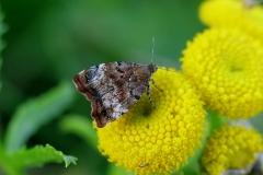 Choreutis pariana (Choreutis pariana) -  Diget oktober på Rejnfan - Relativ sjælden - Flyver fra  juni-oktober