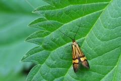 Løvskovslanghornsmøl (Nemophora degeerella) - Plantagen juni - Flyver om dagen fra maj-juli