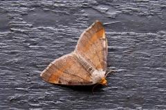 Fyrre-skovmåler (Macaria liturata) - Ved sommerhus i juni - Flyver nat maj-september i to generationer