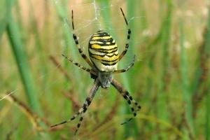 Edderkopper (Spindlere)