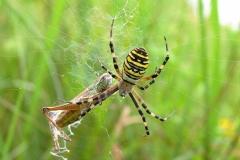 Hvepseedderkop (Argiope bruennichi) - Set på diget i august - En græshoppe er fanget i spindet