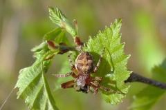 Sivhjulspinder (Larinioides cornutus) - Set i plantagen i april