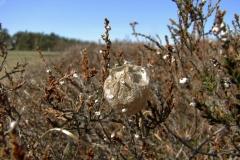 Hvepseedderkop (Argiope bruennichi) - Forladt æggekokon set på diget i april