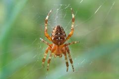 Korsedderkop (Araneus diadematus) - Set på diget i august