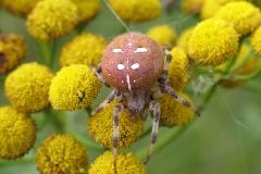 Kvadratedderkop  (Araneus quadratus) - Set på diget i august på Rejnfan
