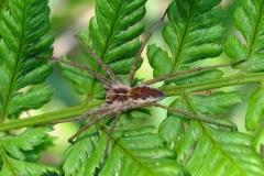 Almindelig rovedderkop (Pisaura mirabilis) - Set i plantagen i juni på Bregne