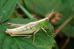 Enggræshoppe (Chorthippus parallelus) - Set i plantagen i august