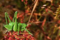 Stor grøn løvgræshoppe (Tettigonia viridissima) - Nymfe set på diget i juni på Rødknæ