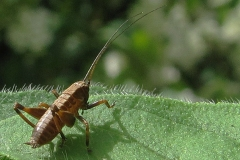 Buskgræshoppe - (Pholidoptera griseoaptera) - Nymfe set i plantagen i juni