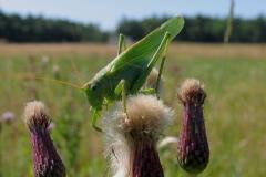 Stor grøn løvgræshoppe (Tettigonia viridissima)  - Hun (kendes på læggebrodden) set i lysning i plantagen i juli på Horsetidsel