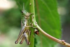 Enggræshoppe (Chorthippus parallelus)  - Set på diget i juli