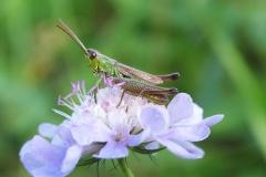 Enggræshoppe (Chorthippus parallelus) - Set på diget i september på Blåhat