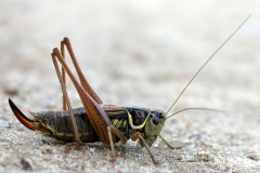Cikadegræshoppe (Metrioptera roeseli) - Hun (kendes på læggebrodden) set på diget i september