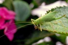 Egegræshoppe (Meconema thalassinum) - Hun  (kendes på læggebrodden) set ved sommerhus i juli