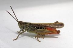 Almindelig markgræshoppe (Chorthippus brunneus) - Set ved sommerhus i juli