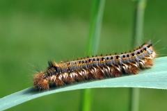 """Plantagen - juni - Fuldt udvokset larve på Tagrør. Græsspinderen kaldes """"drinker"""" på engelsk, da dens larve drikker dug- og regndråber fra de græsarter, den lever på."""