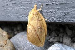 Ved sommerhus - august - hun (gullig farve og smalle antenner)