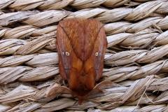 Ved sommerhus - august - han (brunlig farve og med store fjerformede antenner)