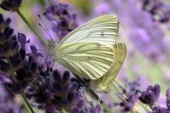 Ved sommerhus - juli - parring på Lavendel
